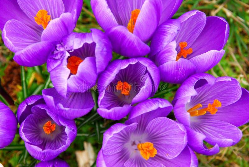 De krokus van de lente royalty-vrije stock afbeelding