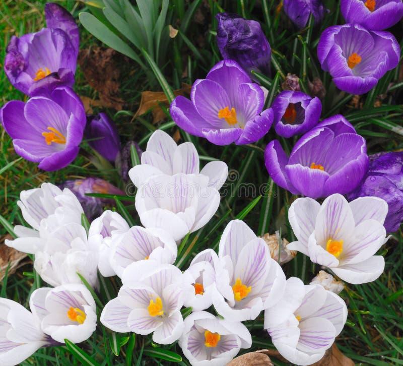 De krokus van de lente stock foto