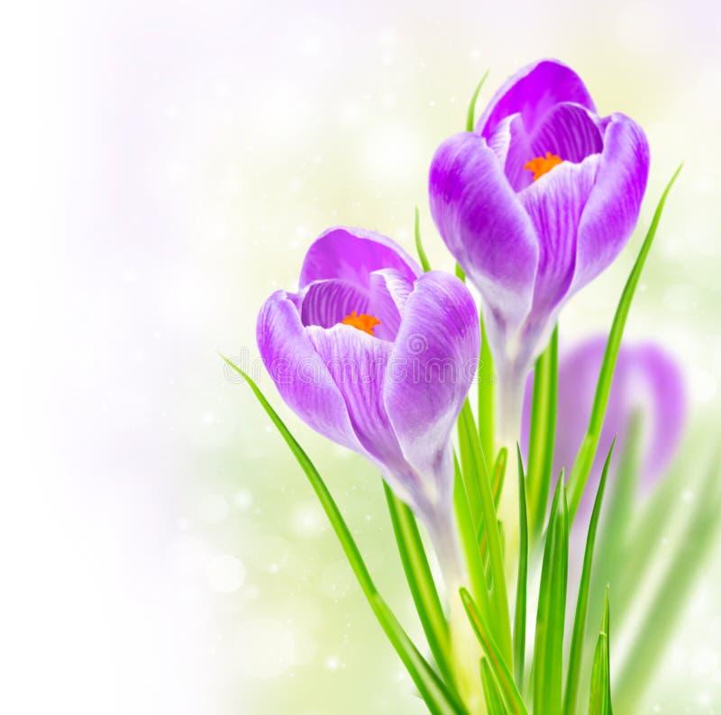De krokusbloemen van de lente stock afbeelding