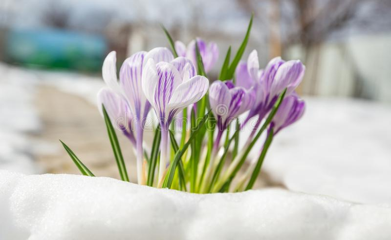 De krokussen van de lente stock afbeelding