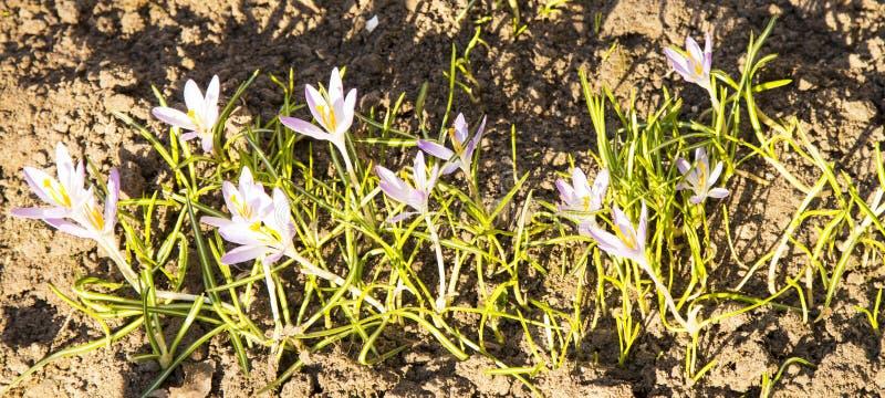 De krokussen zijn de eerste de lentebloemen Tederheid, breekbaarheid stock afbeelding