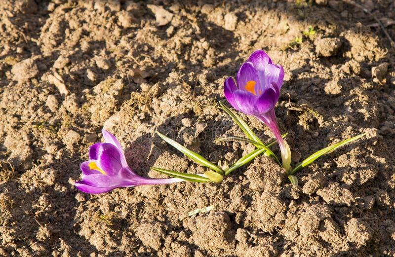 De krokussen zijn de eerste de lentebloemen Tederheid, breekbaarheid en vreugde stock foto