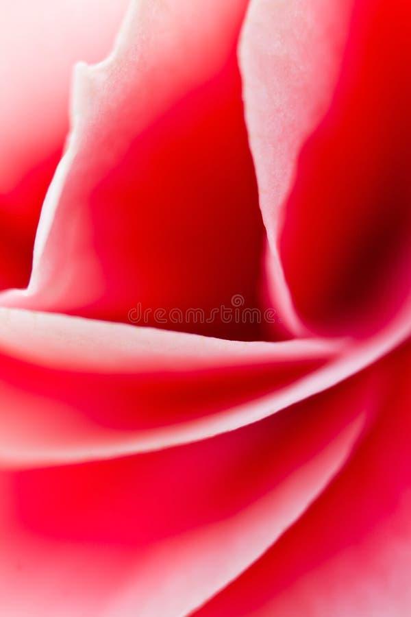 Download De Krommen Van De Begoniabloem Stock Afbeelding - Afbeelding bestaande uit selectief, bloemblaadje: 39113485