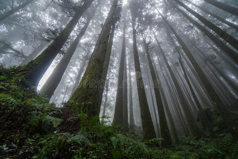De kronen van de cipresboom met zon die door nevelig bos op het toneelgebied van Alishan glanzen, Taiwan stock foto