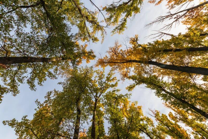 De kronen van hoge de herfstbomen stijgen hoog stock foto's