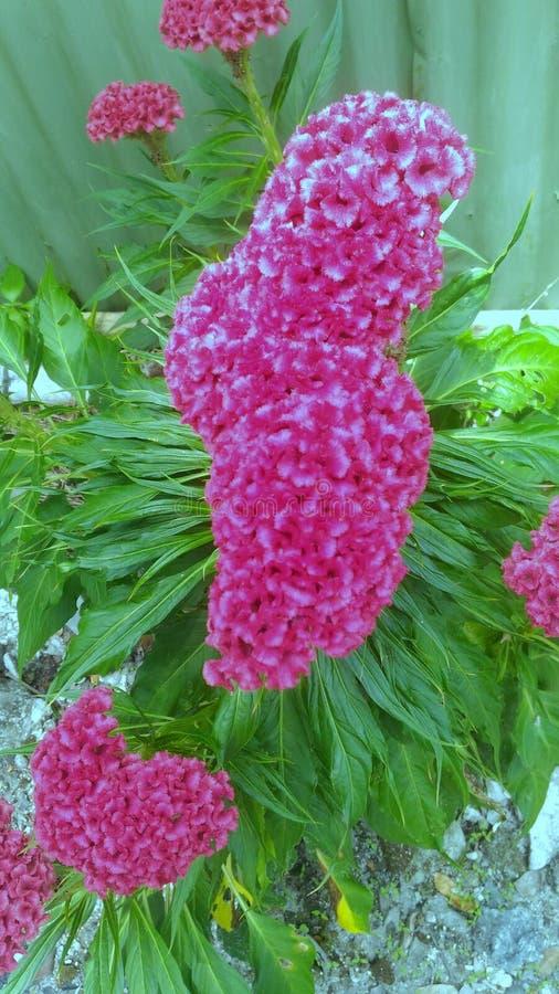 De Kroon van de bloemkip stock fotografie