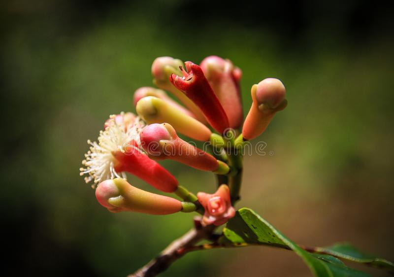 De kruidnagels bloeien Knoppen, St Mary ` s Eiland, Analanjirofo-Gebied, Madagascar stock afbeeldingen
