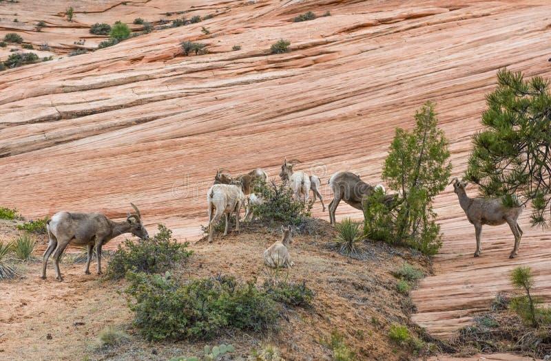 De kudde van Bighornschapen royalty-vrije stock afbeelding