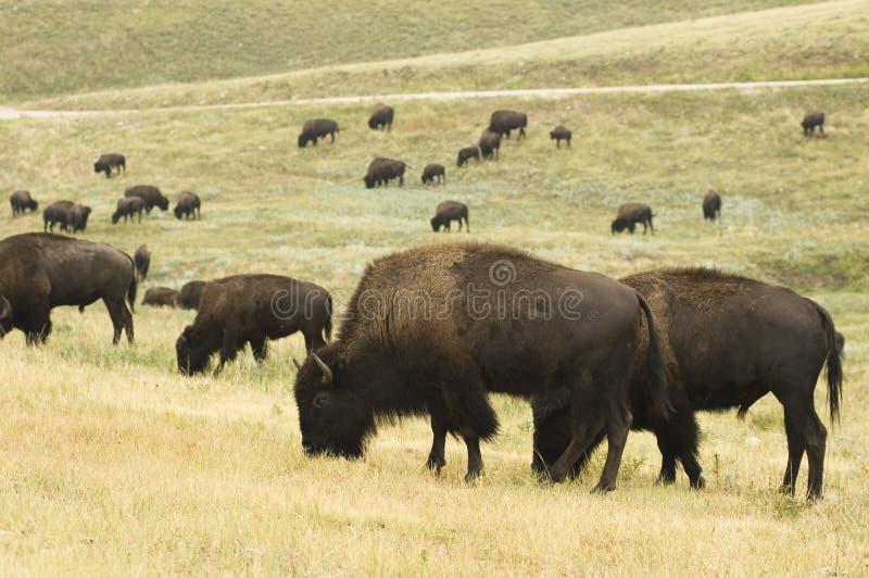 De Kudde van buffels stock foto