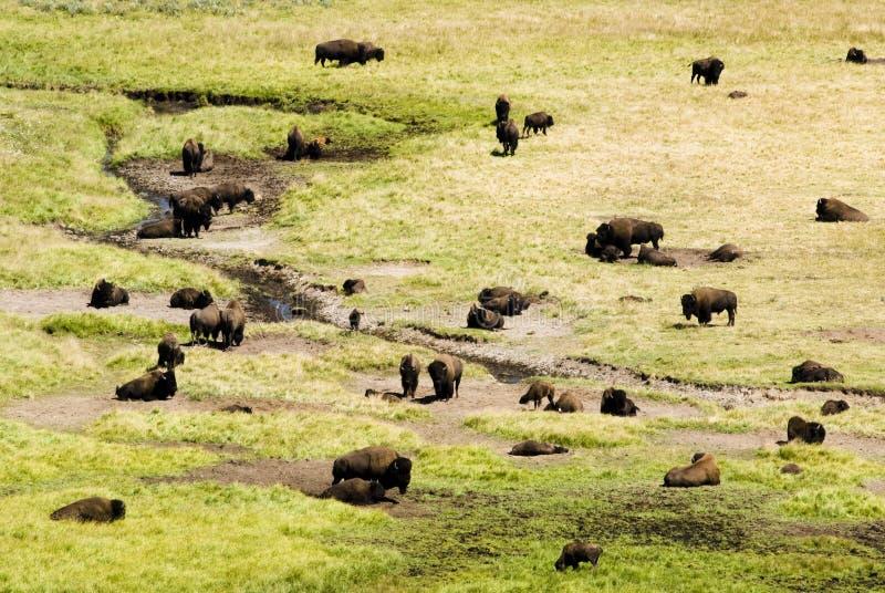 De Kudde van buffels in Vallei Hayden stock afbeeldingen