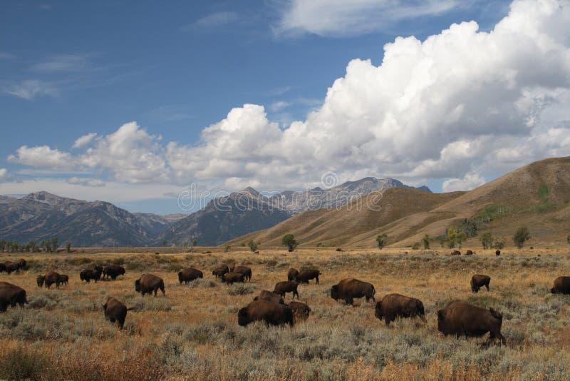 De kudde van de bizon royalty-vrije stock afbeeldingen