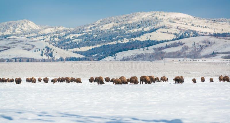 De kudde van de bizon in de Sneeuw, het Nationale Park van Grand Teton stock fotografie