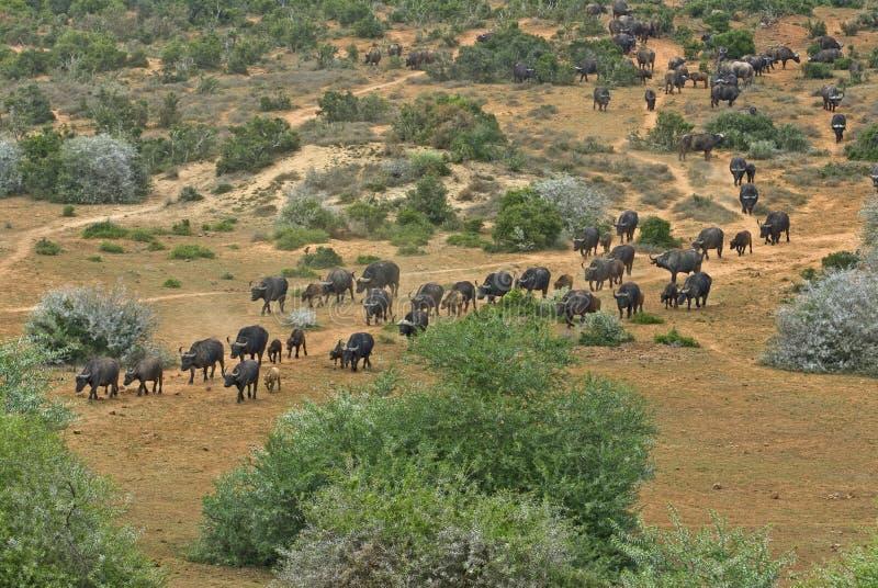 De Kudde van de Buffels van Addo royalty-vrije stock foto