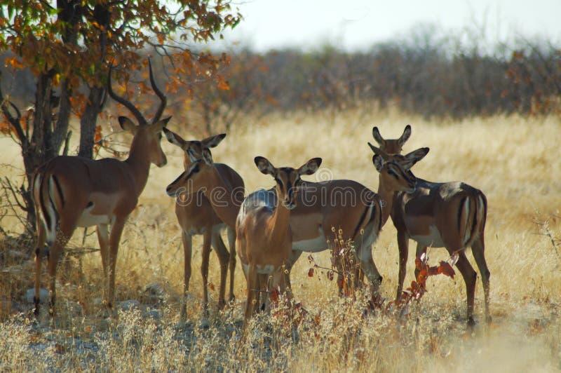 De kudde van de impala in Etosha stock foto's