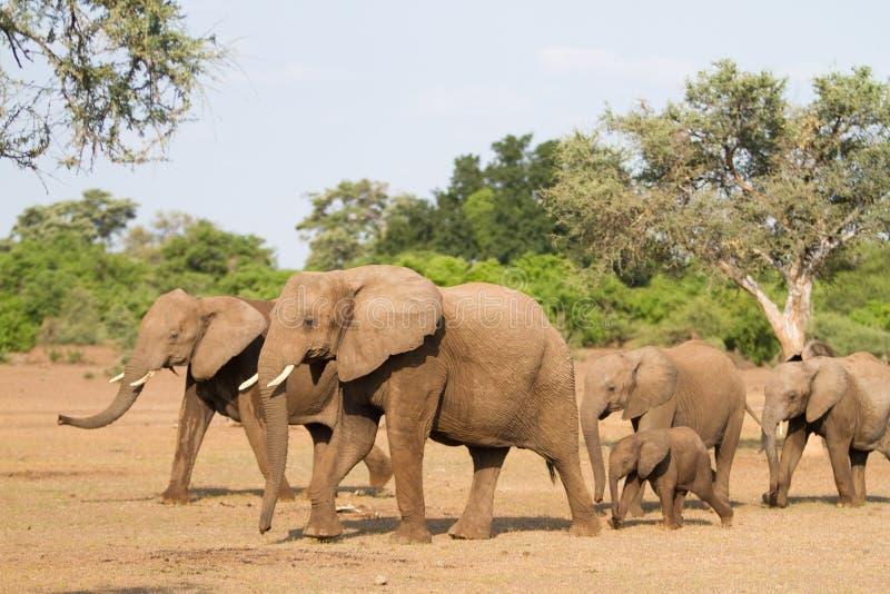 De kudde van de olifant stock fotografie
