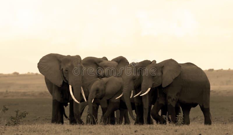 De kudde van de olifant in Amboseli royalty-vrije stock afbeeldingen