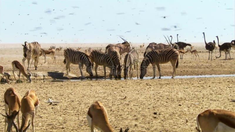 De kudde van dieren onderneemt lange reizen op zoek naar water Migratie van dieren in de Afrikaanse savanne stock afbeeldingen