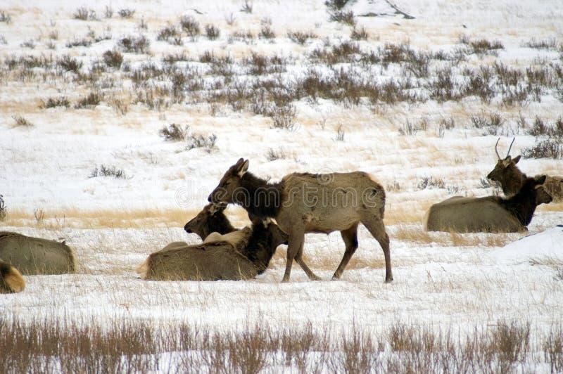 De Kudde van elanden op sneeuwgebied stock fotografie