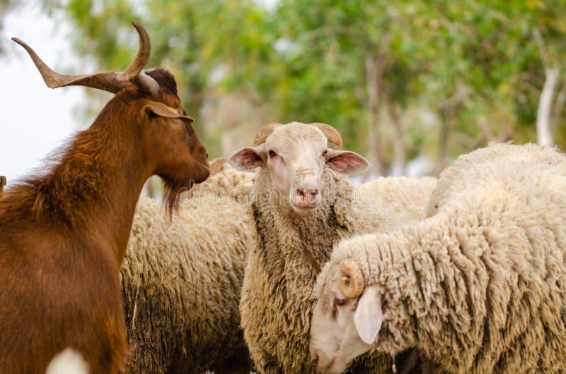 De kudde van geiten en schapen, sluit omhoog in het landbouwbedrijf stock foto's