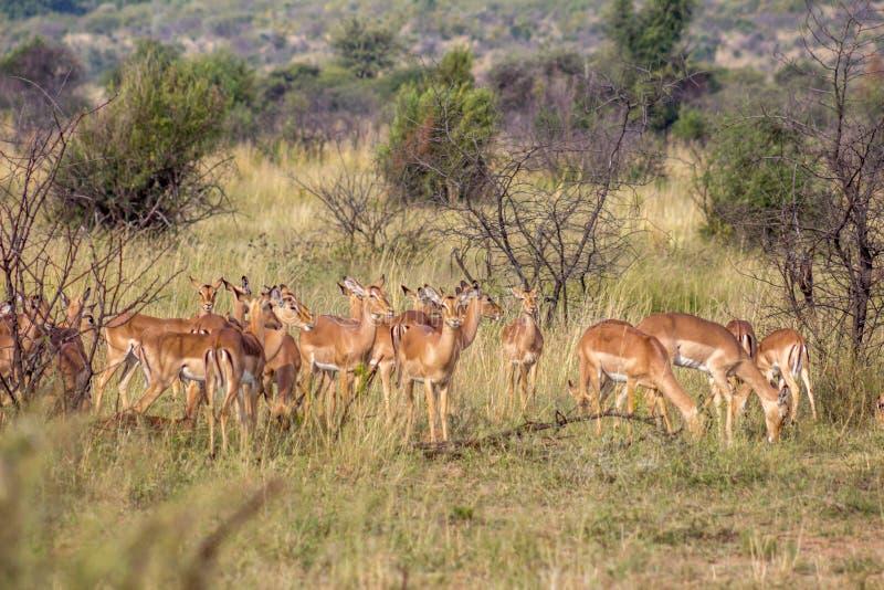 De kudde van de impalaantilope royalty-vrije stock afbeeldingen