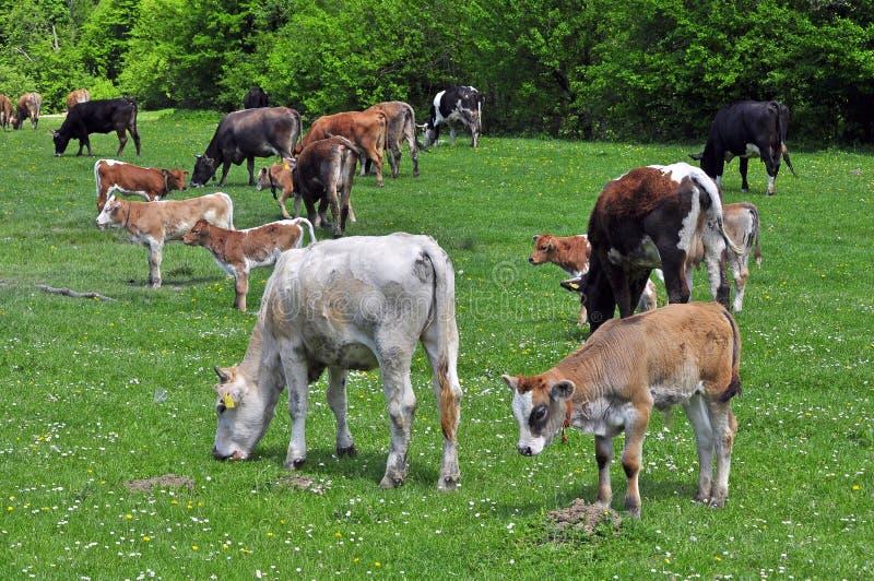 De kudde van koeien royalty-vrije stock foto's