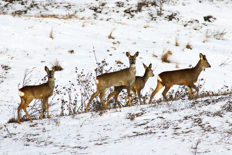 De kudde van kuitendeers op sneeuw stock afbeelding