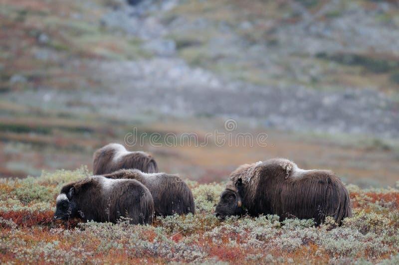 De kudde van de muskusos in de herfstlandschap stock fotografie