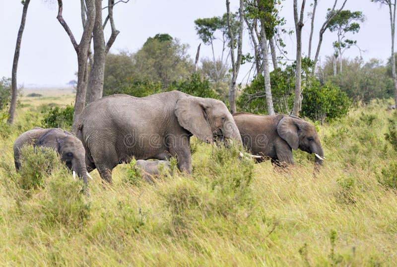 De kudde van olifanten royalty-vrije stock foto