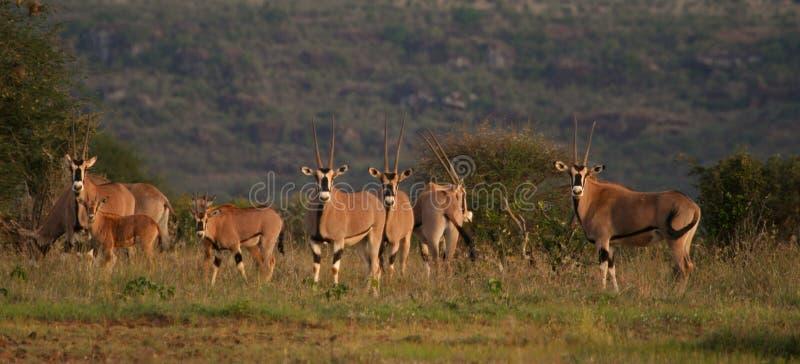 De kudde van Oryx stock afbeeldingen