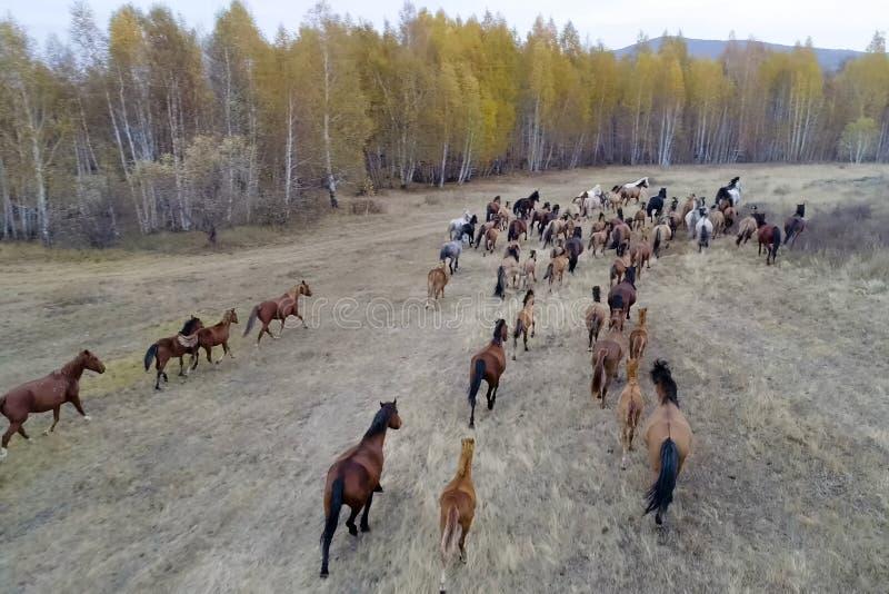 De kudde van paarden in de herfst op weiland, weidende paarden stock foto's
