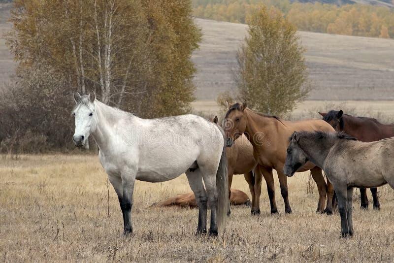 De kudde van paarden in de herfst op weiland, weidende paarden stock fotografie