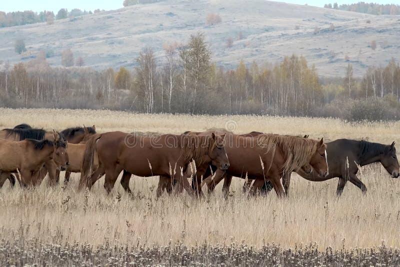 De kudde van paarden in de herfst op weiland, weidende paarden stock afbeelding