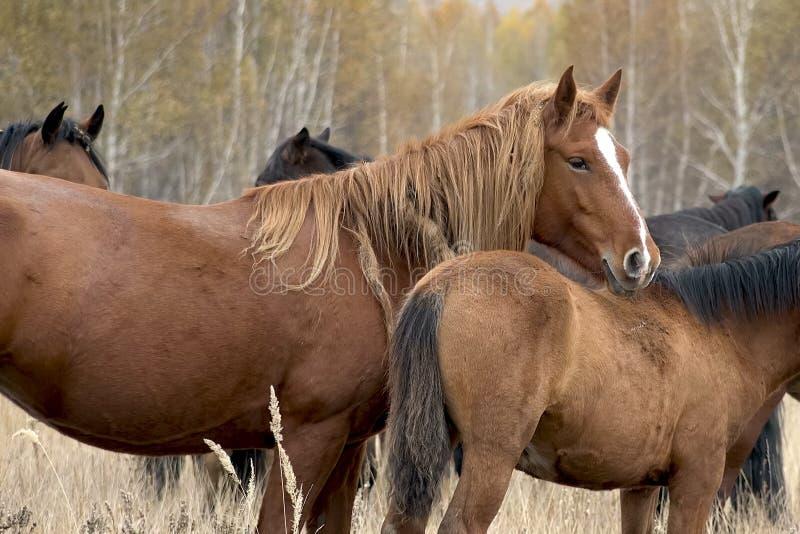 De kudde van paarden in de herfst op weiland, weidende paarden royalty-vrije stock foto