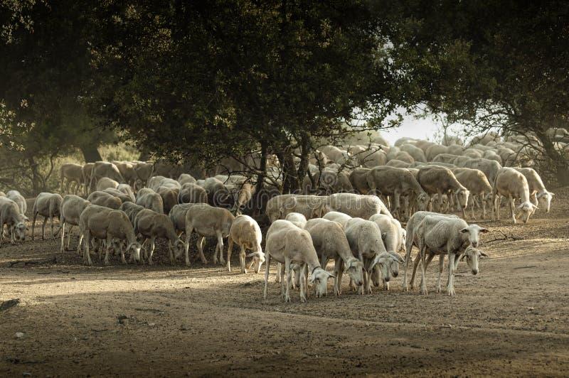 De kudde van schapen stock afbeelding