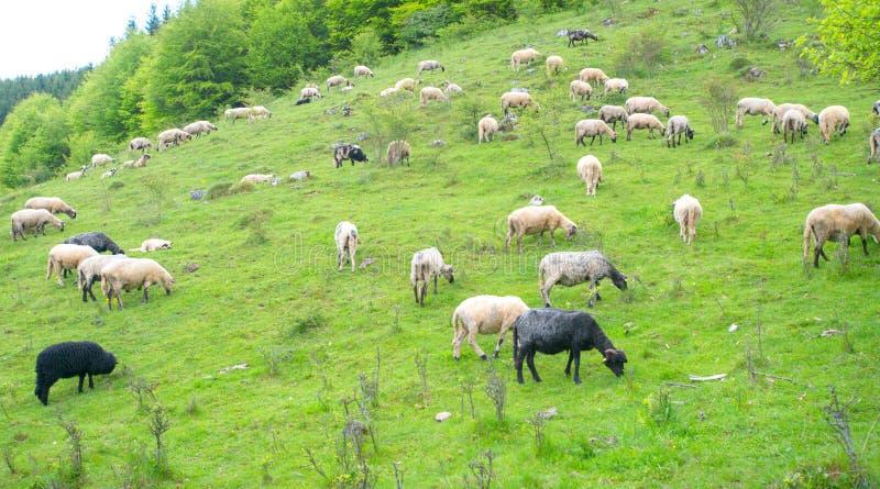 De kudde van schapen weidt op groen weiland in de bergen stock foto