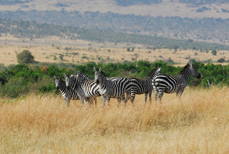 De kudde van Zebras in Masai Mara royalty-vrije stock foto