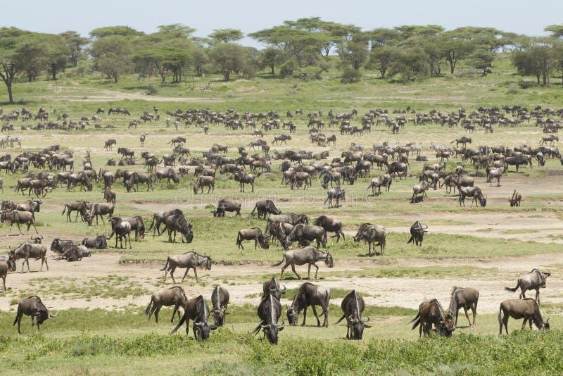 Download De Kudden Van De Migratie In Het Ndutu Gebied, Tanzania Stock Foto - Afbeelding bestaande uit behoud, groot: 29510222
