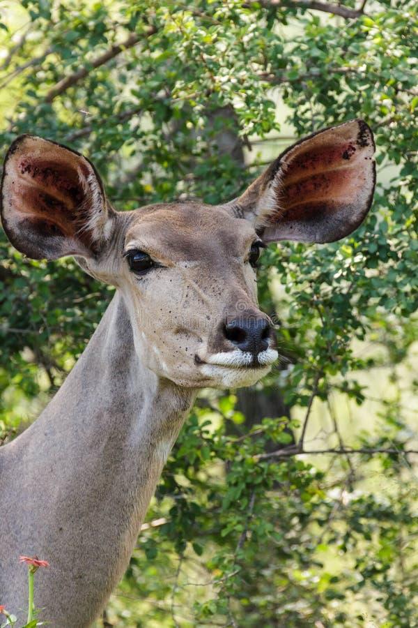 De Kudu de portait fin  photos libres de droits