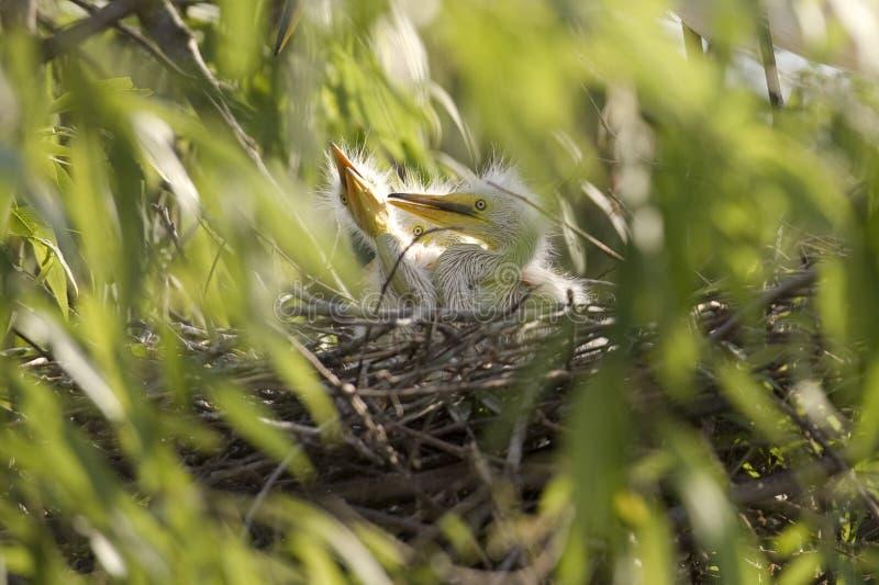 De kuikens van de Aigrette van het vee in nest stock foto