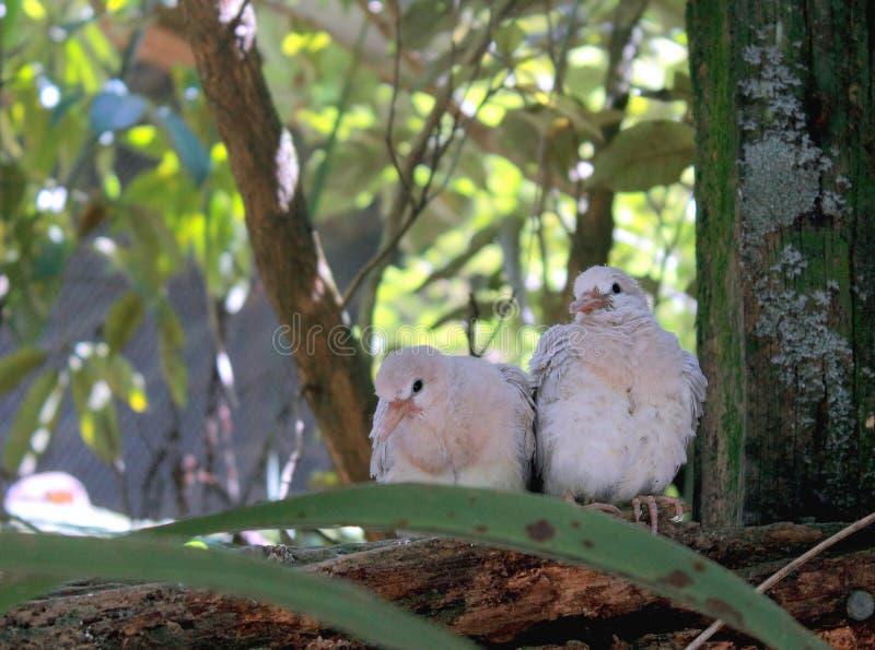 De Kuikens van de Ringneckduif (Streptopelia-roseogrisea) stock foto