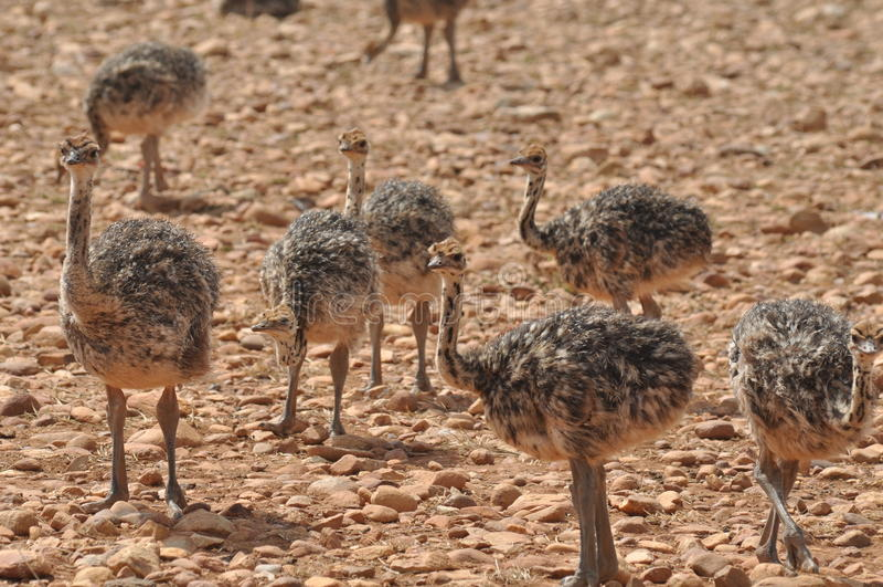 De kuikens van de struisvogel stock afbeeldingen