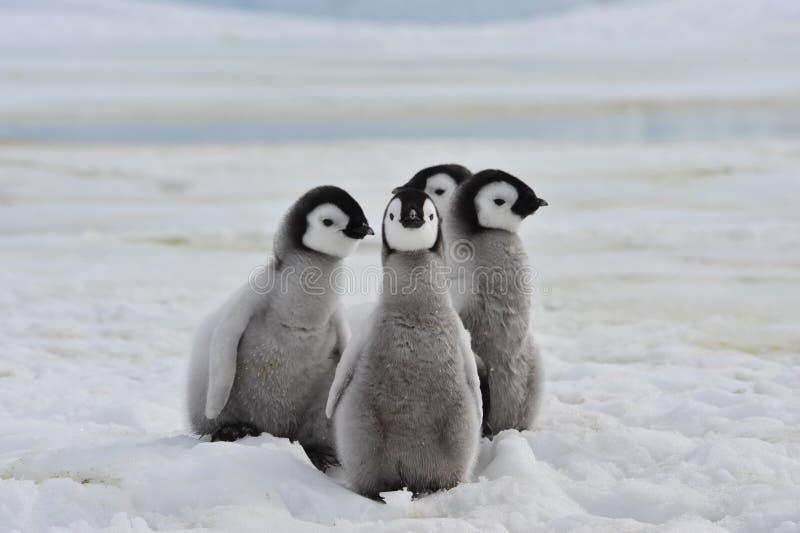 De kuikens van keizerpinguïnen stock fotografie