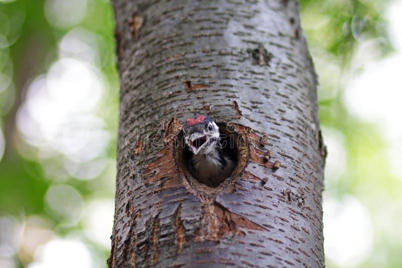 De kuikenspecht kijkt van een holte stock afbeelding