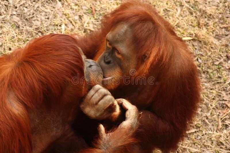 De Kus van de aap stock afbeeldingen