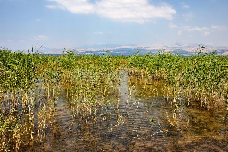 De kuststrook van het Kinneretmeer met struiken Juli stock afbeeldingen