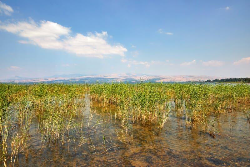De kuststrook van het Kinneretmeer met struiken Juli stock foto's