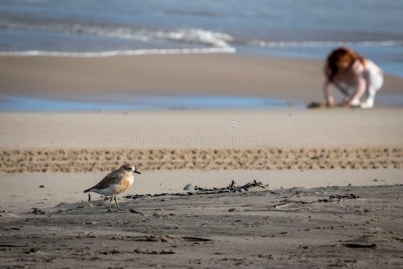 De kustvogel van Nieuw Zeeland de Noordelijke Morinelplevier bedreigd door menselijke storing van habitat in het bijzonder honden royalty-vrije stock afbeeldingen