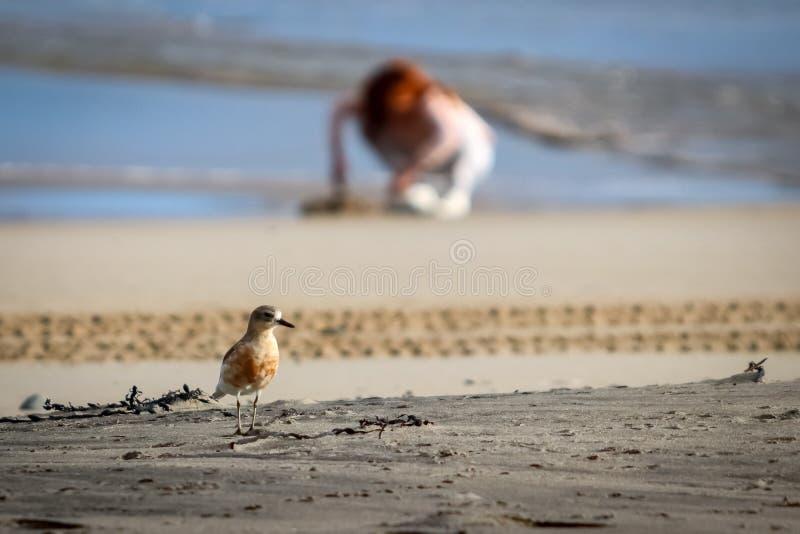 De kustvogel van Nieuw Zeeland de Noordelijke Morinelplevier bedreigd door menselijke storing van habitat in het bijzonder honden stock foto's