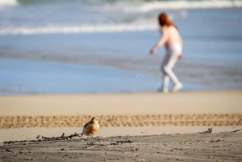 De kustvogel van Nieuw Zeeland de Noordelijke Morinelplevier bedreigd door menselijke storing van habitat in het bijzonder honden royalty-vrije stock afbeelding