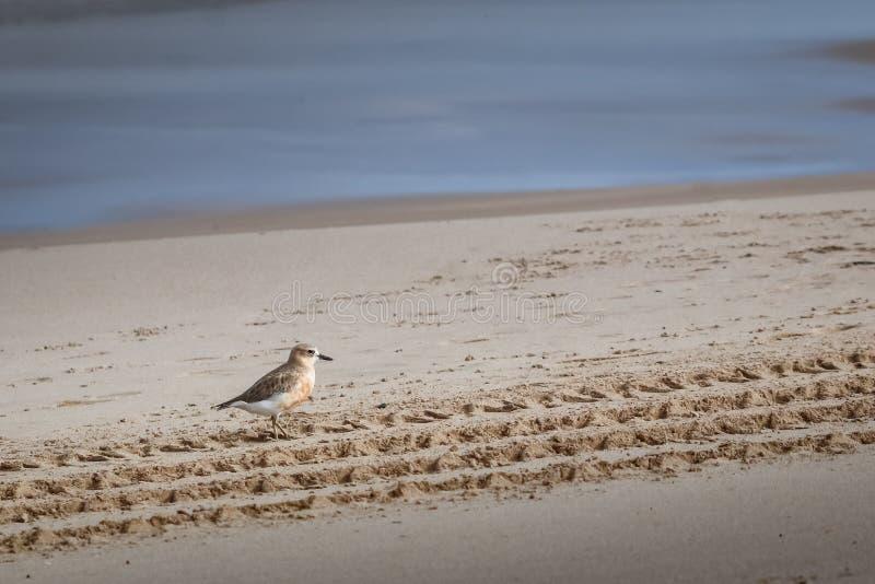 De kustvogel van Nieuw Zeeland de Noordelijke Morinelplevier bedreigd door menselijke storing van habitat in het bijzonder honden royalty-vrije stock foto's